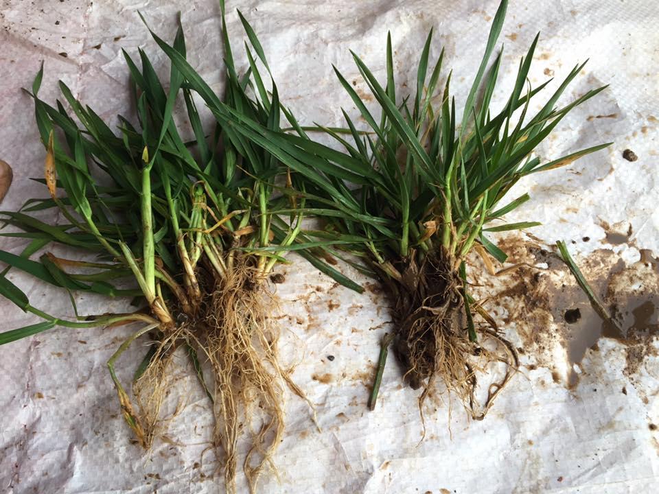 Bacteriosol Winter Barley