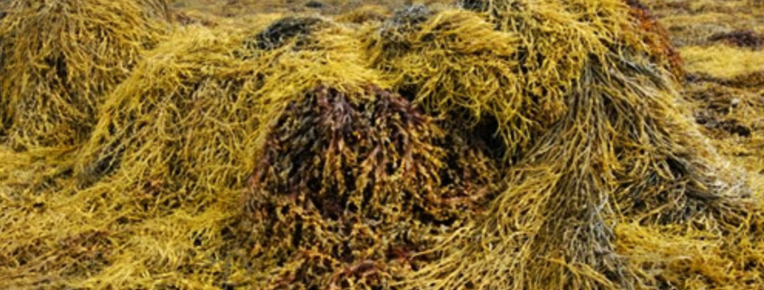 Seaweed with Bactériolit & Bactériosol